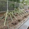 学校の台風被害 一夜明けて③ なぎ倒された畑の作物