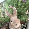 咲き終えたフレンチラベンダーをスッキリカットでウサギちゃん喜ぶ!