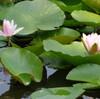 【お花見2】見沼自然公園の睡蓮 (サイクリングコース5 見沼代用水路サイクリング沿い)