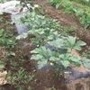 オクラを収穫しました。初収穫です