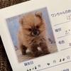 【犬の顔も成長段階で変化する】~ポメラニアン育成記~
