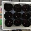 2月から始める種まきと室内での育成/ビーツ・絹さや・スナップエンドウ