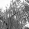 柳の枝の広がり