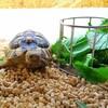 飼育者が悩む「冬のヘルマンリクガメの主食」