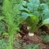 ニンジンの栽培⑥混植したカブの収穫