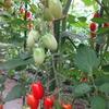 トマトの今昔