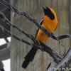 街中で見かける鮮やかな Hooded Oriole (フーデッド オリオール)