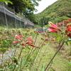 花風景(アルストロメリア)