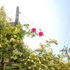 2013/05/05 パレード 花保ちがいいね!