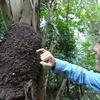 【必見!】グアテマラの食べられる虫!蟻(アリ)を食べたらある野菜の味がする!?