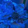 サンゴの初心者にオススメなソフトコーラルの飼育を始めました!