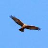 冬の鷹チュウヒ葭原に舞う
