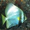 わざと目立つように化ける魚アカククリ!社会的擬態と種内擬態とは!