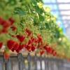 1~5月はイチゴ狩り!千葉の成東で好きな品種を見つけよう!