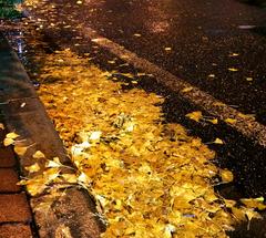 ★雨濡れの御堂筋の銀杏