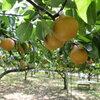 ふるさと納税で大好物の梨を頼んで失敗。今年はリベンジするかな