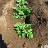ジャガイモの芽かきをするタイミングとは