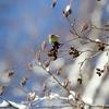 嵯峨塩深沢林道のハンノキの花穂にむらがるマヒワたち