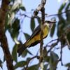 オリーブタイランチョウ(Tropical Kingbird)など