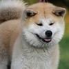 「忠犬ハチ公」の犬種は秋田犬だった!「あきたいぬ」と読むんです