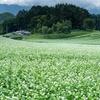 中山高原の蕎麦の花が満開だよ!2019【長野県大町市】