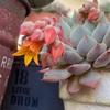 今日から4月!多肉の花も咲く!