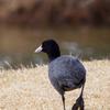 🦆野鳥の回【26】🆕  オオバン(大鷭)得体のしれない形をしてる黒いヤツ