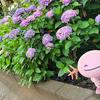 白山神社のあじさいと【ポケモンGOAR写真】ミズゴロウは公式でかわいい
