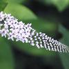今日の誕生花「オカトラノオ」虎の尻尾に似てる花、丘、水、海の区別!