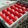 冬野菜である「トマト」の甘さと皮の薄さと酸味を見分ける方法が『ガッテン!』で放送されました