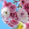 八重桜と紫陽花と近況報告と♪