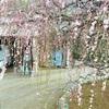 しだれ梅、滝のように 熊本市西区