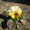 黄色いパンジー。どんどん咲いています。