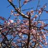 散り始めた梅の花