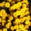 菊の花と紋章