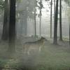 フォトショップ 画像加工 狼と森