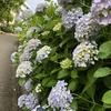 紫陽花満開で今が見頃です(安川緑道公園にて)