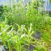 今の畑の様子について。6月は寒かったけど夏野菜はこれからに期待か?
