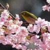 河津桜とメジロ 2014