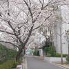 校内の桜が満開になりました