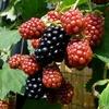 ブラックベリー収穫^^ 2012