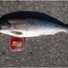 カラフトマス・鮭釣りの餌について/  紋別港今日の釣り情報