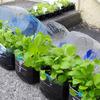 【自給自足Vlog】ペットボトルですくすく育つオーガニック野菜|無農薬|低コストの有機肥料|田舎暮らし
