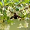 グミの花とクマバチ