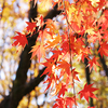 紅葉(もみじ)の庭 garden of Colored