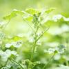今年の花粉症の状況、日本茶で効果あり。