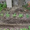 【家庭菜園】大根とほうれん草の間引きをしました(3回目)