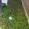 本日で、7日目の草むしり。雨がやんでる合間に。