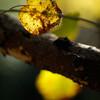 ケグワの黄葉