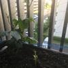 ゴーヤの芽がやっと出てきました!